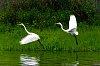 -white-egrets.jpg