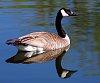 -single-goose.jpg