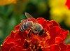 -bright-orange-flower-w-bee.jpg