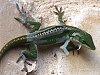 -lizard-026cr.jpg