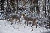-deer.jpg