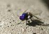 -blu-fly-small.jpg