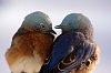 -bird-eastern-bulebirds.jpg