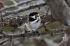 -chickadee-holding-tight.jpg