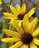 -bee-two-yellow-flowers.jpg