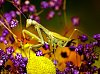 -praying-mantis.jpg