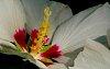 -hibiscus-stamen.jpg