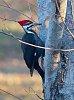 -pileated-woodpecker-3.jpg