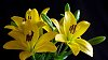 -yellow-lily.jpg
