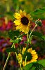 -sunflowers-morning.jpg