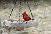 -snow-cardinal_web.jpg