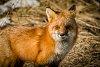 -fox1fb2-1.jpg