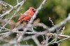 -cardinal_both_is_os.jpg