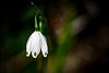 -lonely-snowdrop.jpg