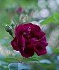 -first-rose.jpg