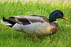 -mallard-grass.jpg