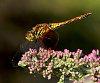 -dragonfly-1.jpg