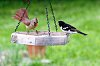 -cardinal-grosbeak-small.jpg
