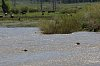 -yellowstone-26-may-2018-bison-calves-fording-river-01-small.jpg