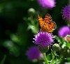 -butterfly-pink-flower.jpg