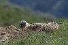 -yellowstone-26-may-2018-badger-baby-01-small.jpg