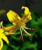 -yellow-lily-w-stamens.jpg