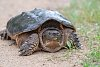 -refuge-snapping-turtle-2.jpg