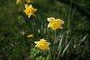 -dscf0120-1024-daffodils.jpg