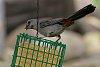 -gray-catbird-1.jpg