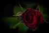 -new-rose.jpg