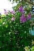 -dscf0153-lilac-1200.jpg