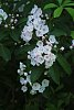 -mountain-laurel-blooms-0618_img3851rs.jpg