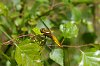 -broad-bodied-chaser-1.jpg