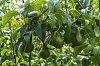 -pears-1783.jpg
