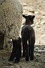 -mouton-noir-1532.jpg