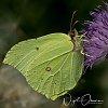 -brimstone-butterfly.jpg