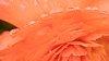 -begonia2.jpg