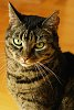 -tabby-cat-bw.jpg