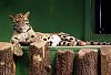 -clouded-leopard1lowres.jpg