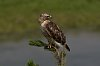 -yellowstone-4-august-2018-red-tail-hawk-02-small.jpg