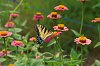 -zinnia-butterfly.jpg