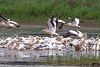 -pelicans.jpg