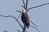 -yellowstone-11-august-2018-bald-eagle-01-small.jpg