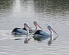 -pelican-01.jpg
