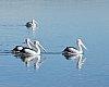 -pelican-01-2-.jpg