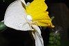 -spider-flower.jpg