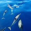 -12x12-dolphins.jpg