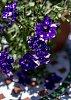 -ws-.geranium.jpg