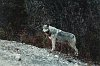 -hungry-wolf.jpg