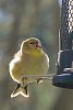 -2014-01-26-fat-goldfinch.jpg